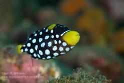 Juvenile clown triggerfish. Image credit: Iain D. Williams (http://anaspidesphotography.photoshelter.com/image/I0000gymdWVUQ_t8)