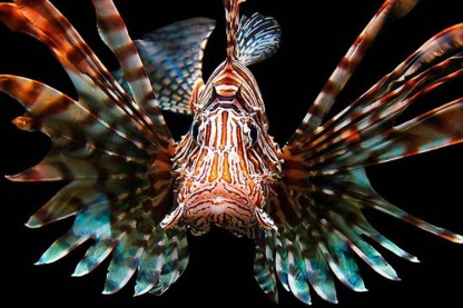 Common lionfish. Image credit: Michael Sheridan (http://www.redbubble.com/people/farflung/works/1784907-lionfish)