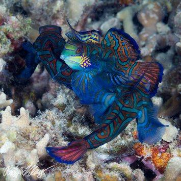 Mandarin fish. Image credit: Klaus Stiefel (https://www.flickr.com/photos/pacificklaus/15216892481)