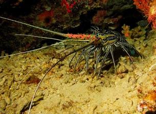 Painted rock lobster. Image credit: Daniel Dietrich (https://www.flickr.com/photos/ddie/7027383229)