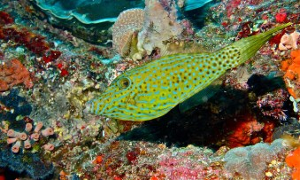Scribbled filefish. Image credit: Bernard Dupont://www.flickr.com/photos/berniedup/6059277332)