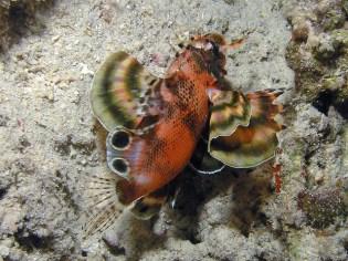 Twinspot lionfish. Image credit: Rob (https://www.flickr.com/photos/bbmexplorer/6283073125)