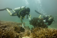 Coral gardening: helping damaged coral to recover.
