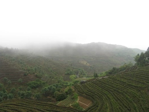 Clouds over tea plantations on mountainside. Linhai, Zhejiang, China.