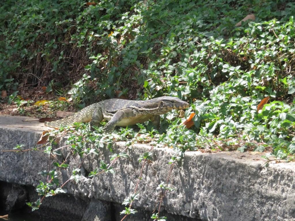 Monitor lizard in Bangkok Lumphini Park