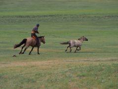 Comment attraper un cheval à moitié sauvage