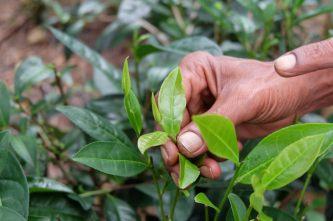Guide dans la plantation de thé, montrant les feuilles sélectionnées pour le thé vert
