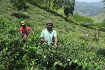 Cueilleurs de thé sur la route du Little Adam's Peak