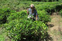 Cueilleuses de feuilles de thé sur la route du Ella Rock