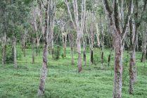 Champ de caoutchoutiers à la plantation, qui varie ses cultures (thé, café, etc.)