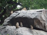 Vers le Gold Temple, de nombreux macaques-toques