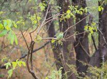 "Un petit ""green bee-eater"", en français Guépier d'orient"