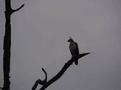 Changeable Hawk-Eagle (Aigle huppé), reconnaissable à sa petite houpette
