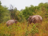 Il existe certaines rgèles universelles : le vent de face à vélo, la tartine qui tombe coté confiture, et les animaux qui vous montrent leurs culs lors d'un safari :)