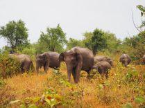 Famille d'éléphants, Udawalawe, Sri Lanka