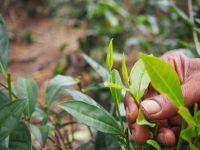 Feuille de thé blanc. La ceuillette se fait sans toucher la feuille, avec ciseaux et bol. Une récolte quotidienne de thé blanc est d'environ 30 grammes, comparé à 20 à 30 kilo pour du thé noir standard