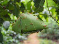 Nids de fourmis arboricoles, dans un cannelier de la plantation de thé