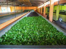 Séchage des feuilles de thé fraichement cueillies