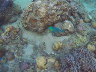 Probablement un poisson péroquet