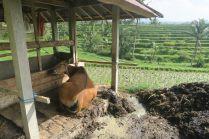 Les vaches servant à préparer la terre sont gardées dans des cabanes à l'intérieur des rizières