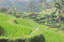Un héron, rizières de Jatiluwih