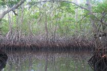 Racines dans la mangrove