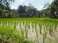 Vue le riz : pour info, l'eau n'est pas nécessaire pour faire pousser le riz, mais sert uniquement à lutter contre les parasites