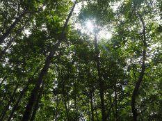 Les arbres dans la mangrove