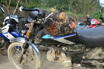 Un coq, les pâtes accrochées au rétro d'une moto