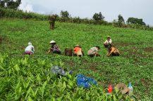 Des paysans dans un champs