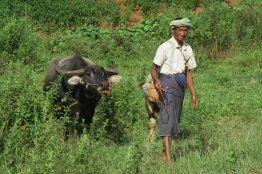 Un paysan menant ses buffles