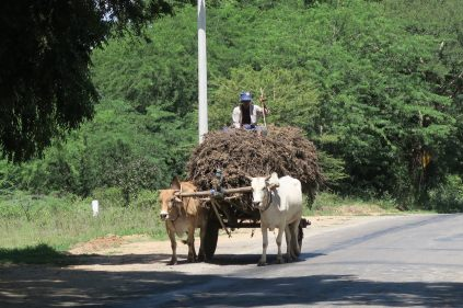 """""""Ox cart"""" (charrette) transportant du bois"""