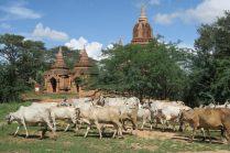 Les paysans font paitre leurs troupeaux dans la plaine de Bagan, entre les pagodes et les temples