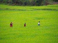 Passage dans une rizière