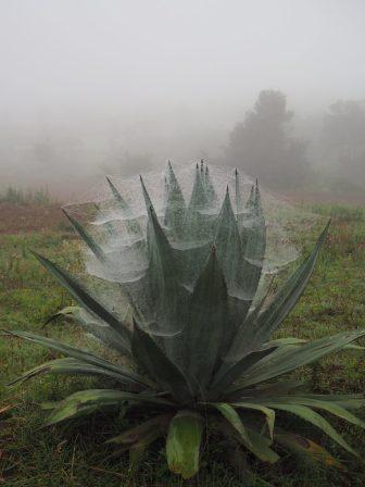 Des plants d'agave recouverts de toiles d'araignée. Il n'y a pas de production de téquila locale (seulement du Rhum !)