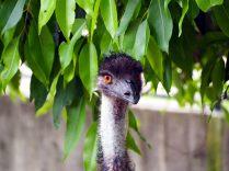 La tête d'un Emu