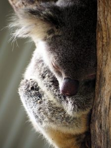 Un Koala endormi sur son arbre. Adorable non ?