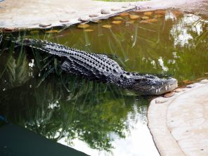 Un énorme crocodile faisant la sieste...