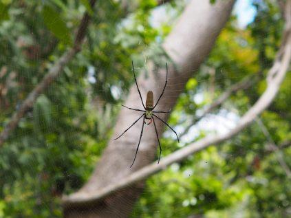 Araignée locale