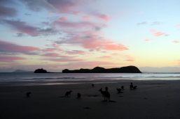 Lever de soleil à Cape Hilssborough avec les kangourous