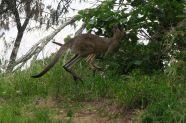 Kangourous à Mon Repos le matin