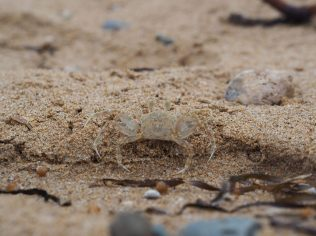 Sur la plage de Mon Repos, un animal se camoufle