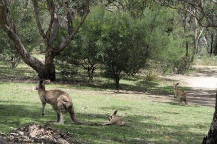 Au parc de Girraween, des Kangourous se prélassent dans l'herbe