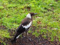 "Un Cassican flûteur (Gymnorhina tibicen) ou ""Australian magpie"" en anglais."