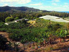 Plantations de bananes autour de Coff Harbour