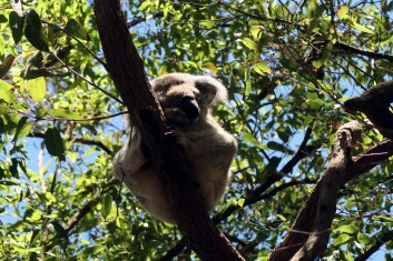 Les Koala dorment jusque 20h par jour !