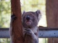 Ce Koala est aveugle d'un oeil