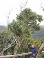 Teddy's Lookout à Lorne, premier koala que l'on voit dans la nature !