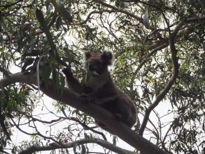 A Kennett River, un koala dans l'arbre