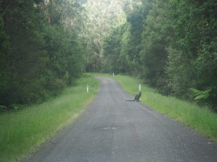 Kangourou sur la route vers le Parc National de Great Otway
